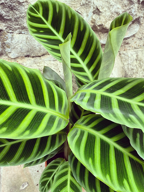 Calathea Zebrina (Medium)