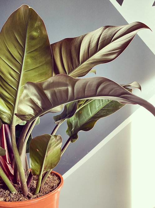 Philodendron Imperial Red - XL (Local Delivery Only)