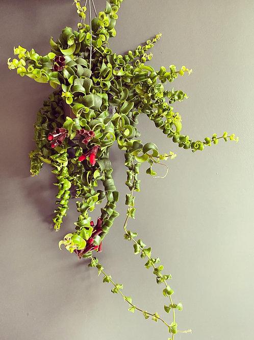 Lipstick Plant (Aeschynanthus Rasta)
