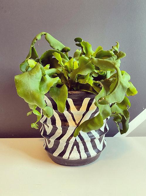 Orchid Cactus (Epiphyllum Guatemalensis)