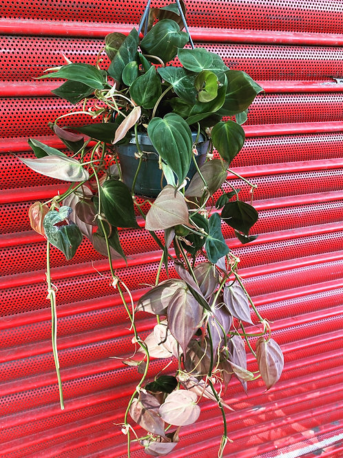 Philodendron Micans in hanging pot