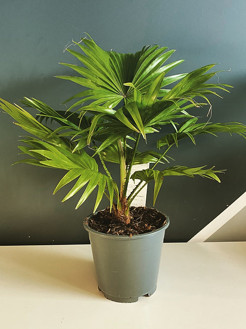 Livistona Rotundifolia (Footstool Palm)