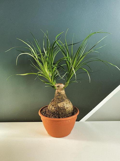 Ponytail Palm (Nolina Beaucarnea)
