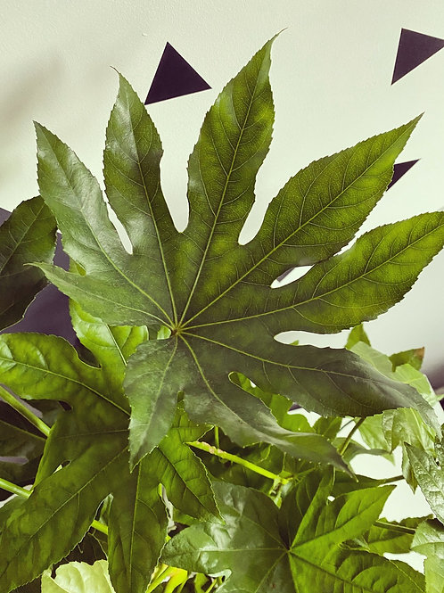 Fatsia Japonica - (Local Delivery Only)