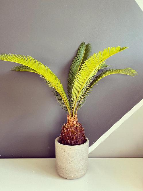 Cycas Revoluta (Sago Palm) Local delivery only