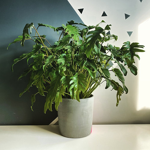 Philodendron Xanadu XL (Local Delivery  Only)