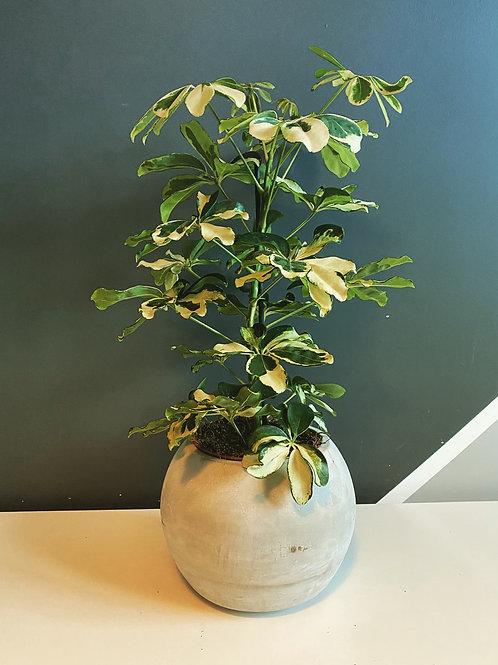 Schefflera Charlotte (Umbrella Tree)