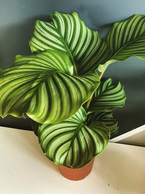 Calathea 'Orbifolia' Large