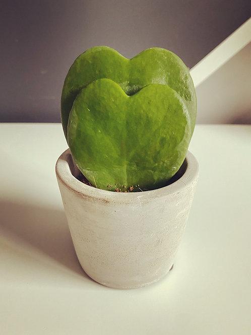 Double Sweetheart Plant (Hoya Kerrii) with pot