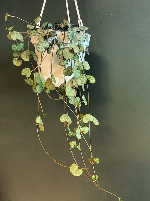 String of Hearts (Hanging Pot)
