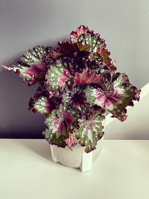 Begonia Rex 'Purple Blush'
