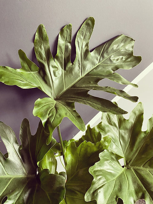 Philodendron Hope Selloum (Local Delivery Only)