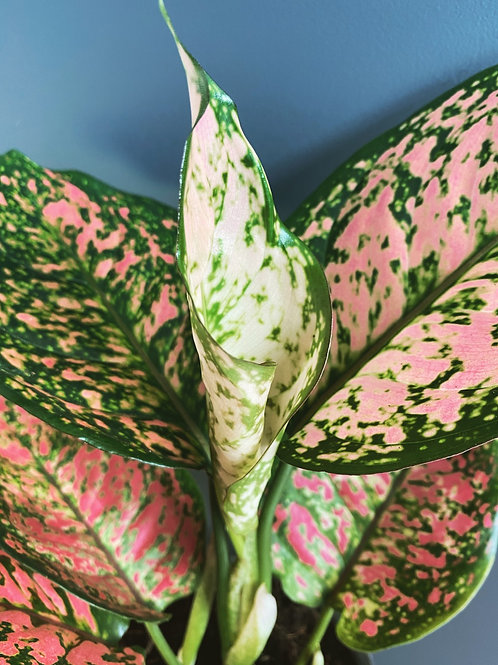 Aglaonema 'Spotted Star'