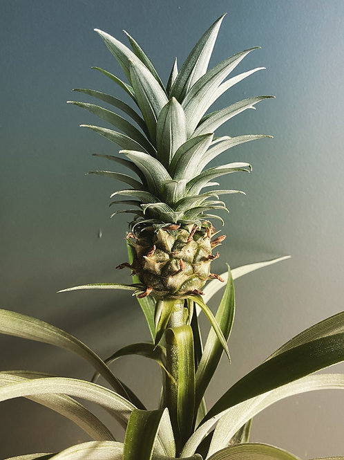 Pineapple Plant (Ananas)