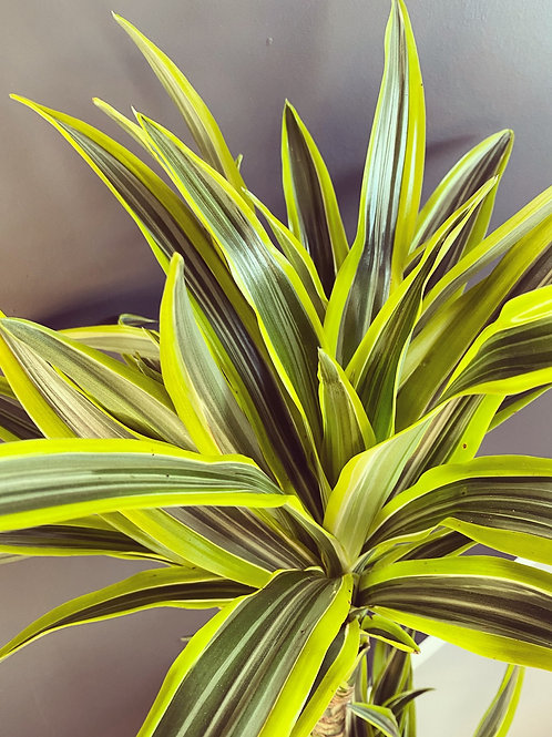 Dracaena Lemon Lime' 50cm - (Local Delivery Only)