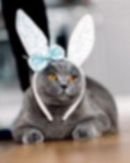 grey-cat-with-cute-bunny-like-headband-P