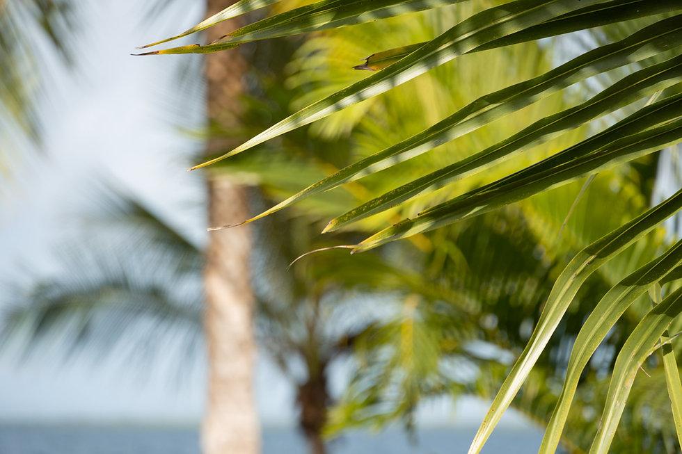 Coconut trees at Dolphin Blue Paradise