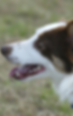 border collie frisbee dog show