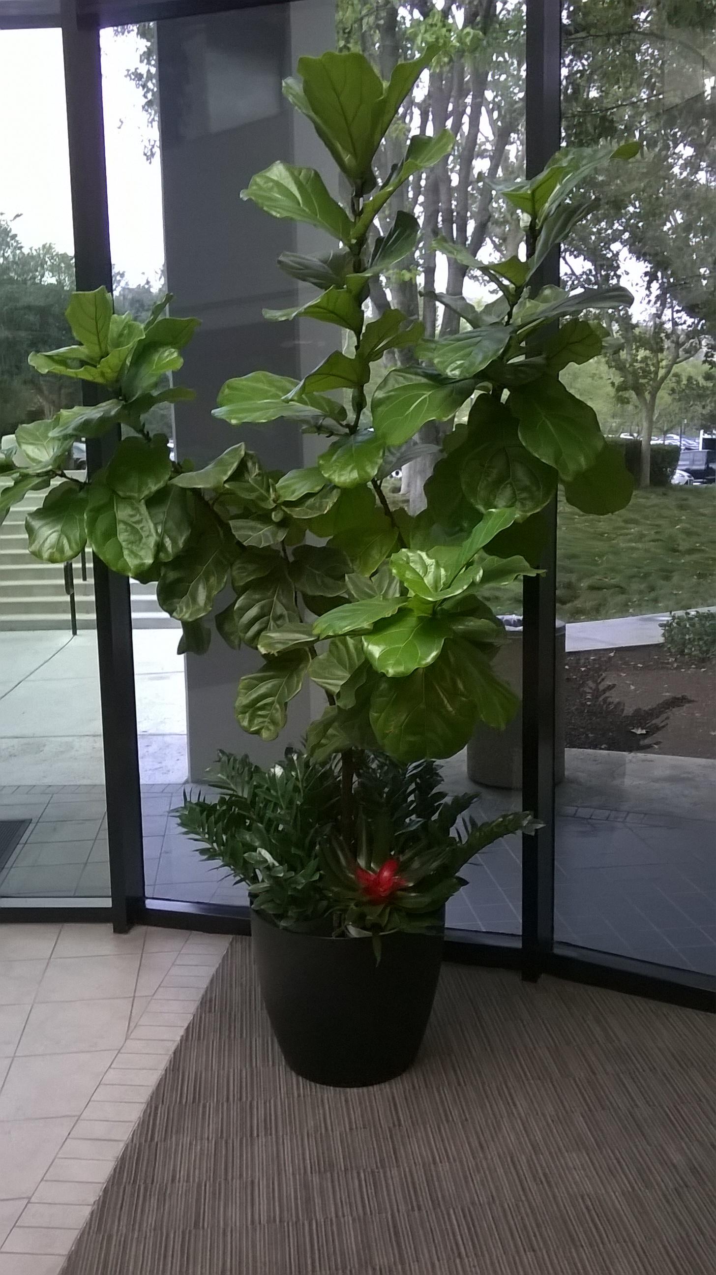 FICUS LAYRATA & TOP PLANTS