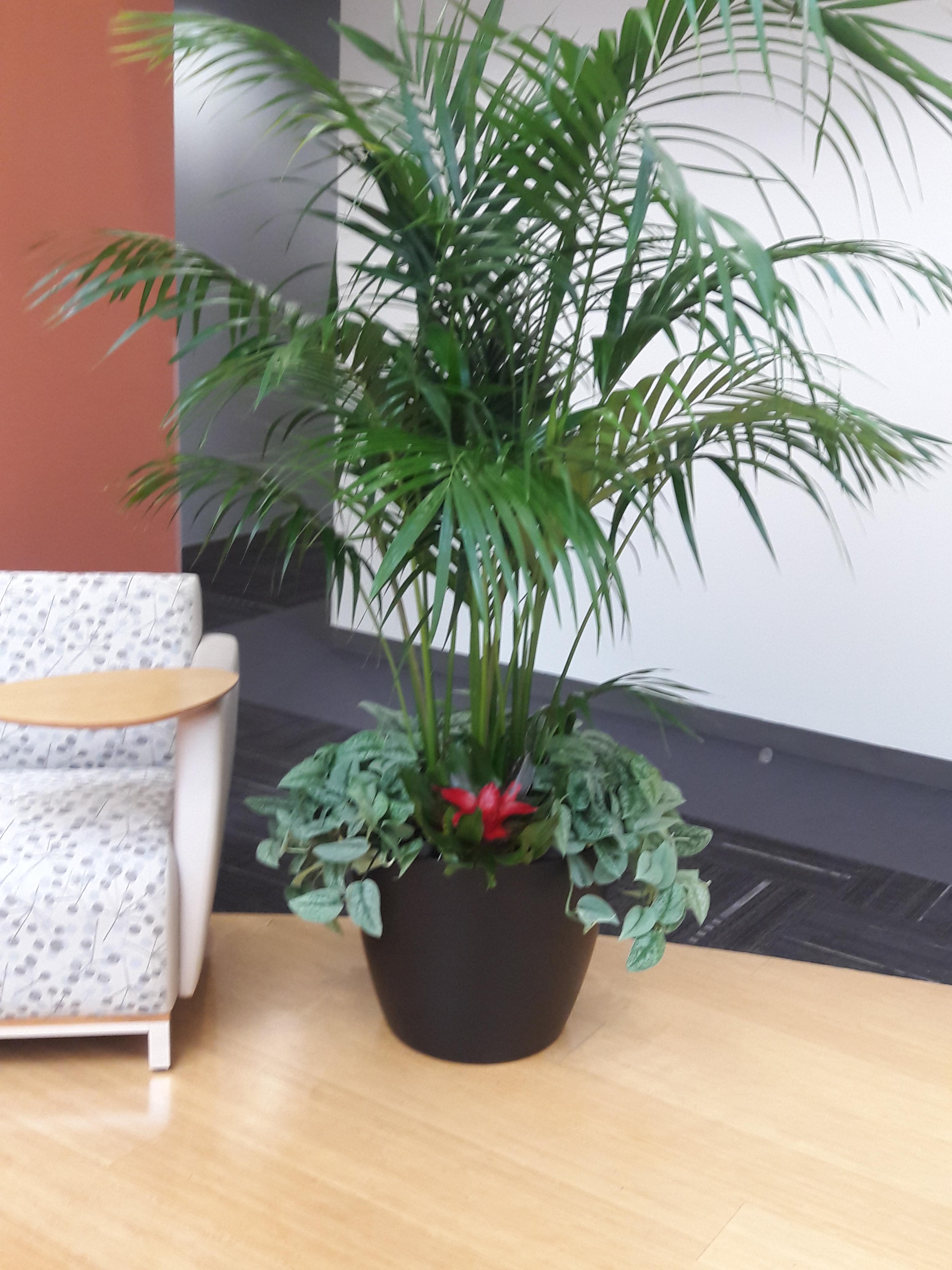KENTIA & TOP PLANTS