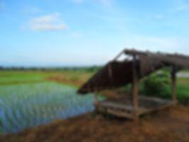 ricepaddy.jpg