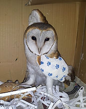 bandaged Barn Owl.jpg