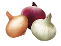 Onion Vector.png