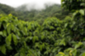 Beautiful coffee plantation.jpg
