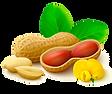 Peanut Vector.png