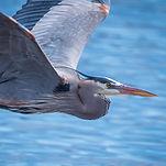 Flying blue heron_edited.jpg