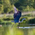 iStock-flying heron green flip.jpeg