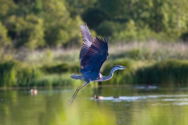 Vol de Le Héron Bleu