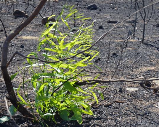 Rebirth of life in Talaroo - Australia