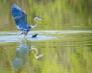 Lifting Blue Heron