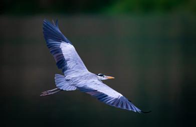 Flying blue heron - tamas