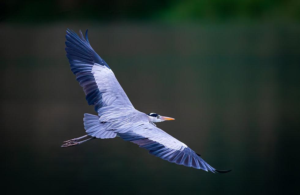iStock-flying blue heron tamas.jpg