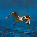 iStock-flying heron_lake_XXL_flap.jpeg