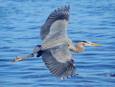 Flying Blue Heron - rajas