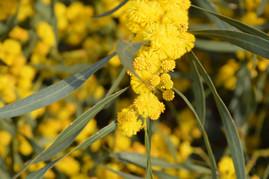 Mimosas - Sardegne