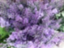 Lavender Stem Lavender.JPG