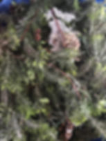 Accent Spruce Twigs.JPG