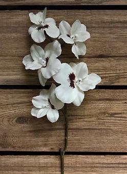 "Miltoniopsis Orchid 28"""