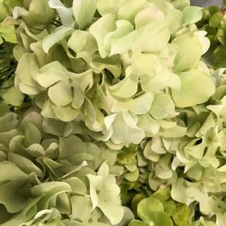 Bulk Hydrangea Head Green