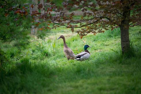 _FLA0475 runner duck mallard shade 2.jpg