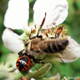 arraignee_napoleon_abeille