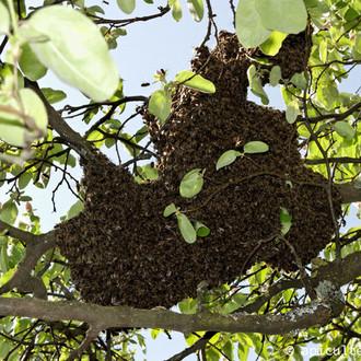 essaim_abeilles_arbre