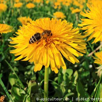 abeille_fleur_pissenlit