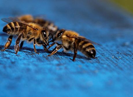 Comment les abeilles fabriquent-elles le miel ?