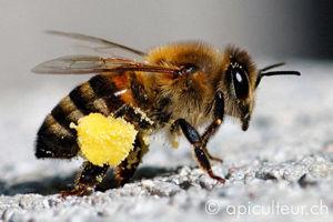 abeille_pollen.jpg