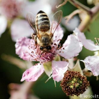abeille_fleur_ronce